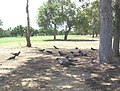 Black Parrots beside No 4 th Tee Nov 2007 - panoramio.jpg