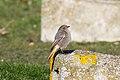 Black Redstart (Phoenicurus ochruros) - Jon Kinght.jpg