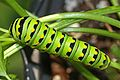 Black Swallowtail caterpillar - Papilio polyxenes, Waterway Farm, Lovettsville, Virginia.jpg