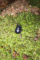 Black beetle (6314875616).jpg