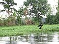 Black bird of alleppey.jpg