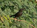 Black scrub robin.jpg
