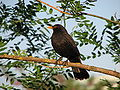 Blackbird, Bystrc 03.JPG