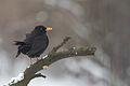 Blackbird Lodz(Poland)(js)01.jpg