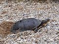 Blanding's Turtle Laying Eggs.jpg