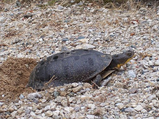Blanding's Turtle Laying Eggs