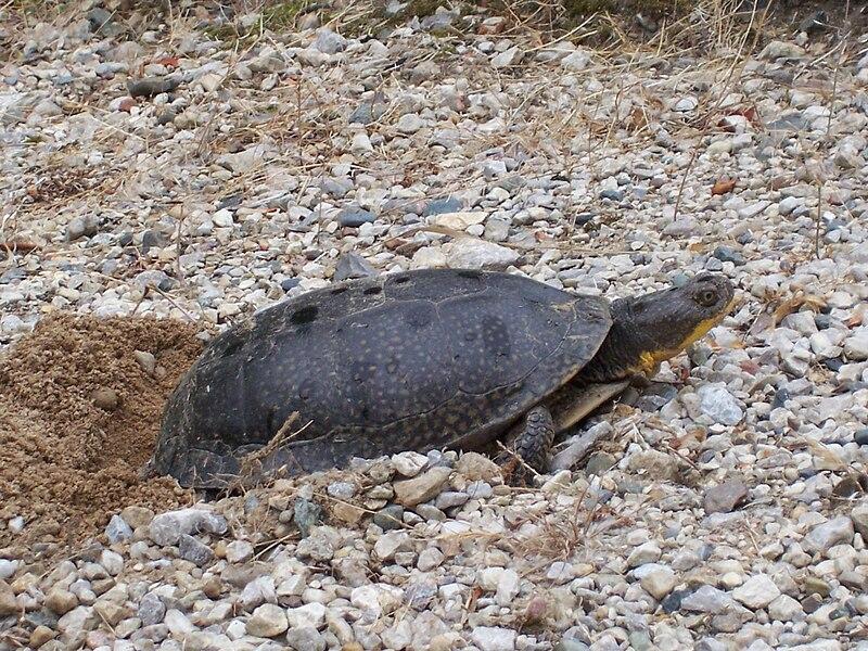 Sea turtle eggs sex nest temperature