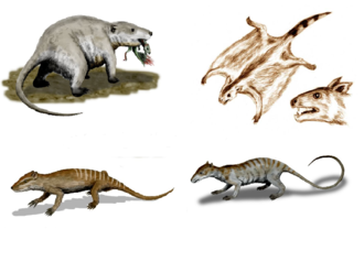 Eutriconodonta - Examples of several eutriconodonts. Clockwise: Repenomamus, Volaticotherium, Jeholodens and Yanoconodon. These occupy vastly different ecological niches: bulky semi-fossorial carnivore, glider, arboreal insectivore and adaptive terrestrial carnivore, respectively.