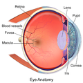 Illustration showing main structures of the eye including the fovea
