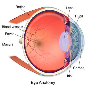 Fovea centralis - Image: Blausen 0389 Eye Anatomy 02