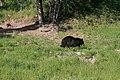 Blck bear in yellowstone 1.jpg