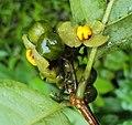 Blepharistemma serratum fruits 07.JPG