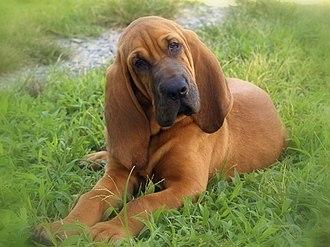 Bloodhound - Bloodhound puppy