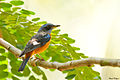 Blue-capped Rock-thrush @ Kakkadampoil 2-2-14.jpg