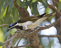 Blue-faced Honeyeater (Entomyzon cyanotis) - Flickr - Lip Kee (1).jpg