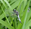 Blue Chaser. Libellula fulva . Mature Male - Flickr - gailhampshire.jpg
