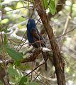 Blue Grosbeak. male. Guiraca caerulea - Flickr - gailhampshire.jpg