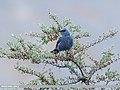 Blue Rock Thrush (Monticola solitarius) (37027064252).jpg