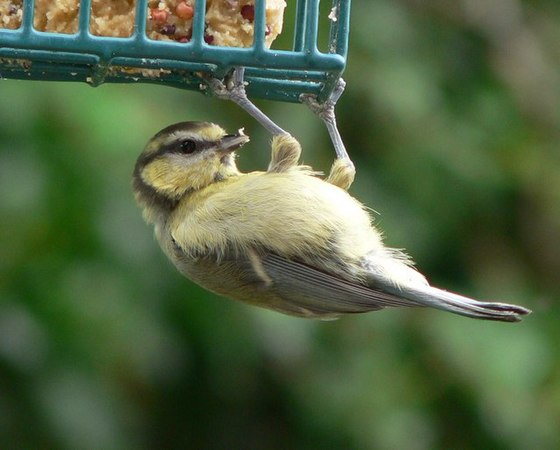 Blue Tit hanging around in Chudleigh. - geograph.org.uk - 896369.jpg