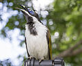 Blue cheeked honeyeater 6 (16522662981).jpg