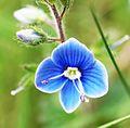 Blue flower in Slovenia.jpg