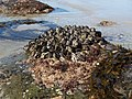 Blue mussels above the waterline during low tide (12035955245).jpg