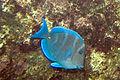 Blue tang Acanthurus coeruleus (3476123585).jpg