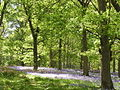 Bluebells - geograph.org.uk - 117889.jpg