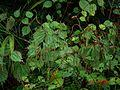 Boehmeria tricuspis - Flickr - peganum (3).jpg