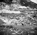 Bohinjska planina na Kraju. Krave odhajajo na pašo zjutraj ob 6h 1952.jpg