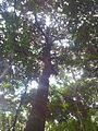 Bois de Natte a Grandes Feuilles - Labourdonnaisia glauca - Ferney Reserve 8.jpg