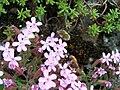 Bombylius sur Saponaria ocymoides (2).jpg