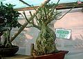 Bonsai tree adeenium25.JPG