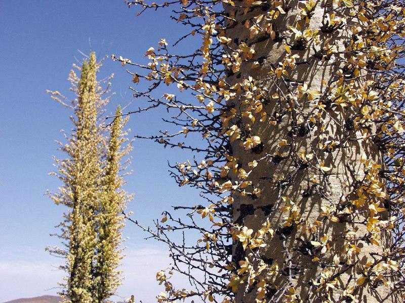 Boojum tree 02