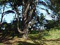 Boom in de duinen van Rockanje 25-10-08 - panoramio.jpg