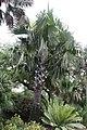 Borassus flabellifer 6zz.jpg