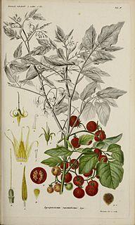 <i>Solanum pimpinellifolium</i> Species of flowering plant