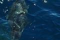 Bottlenose dolphin (4201795151).jpg