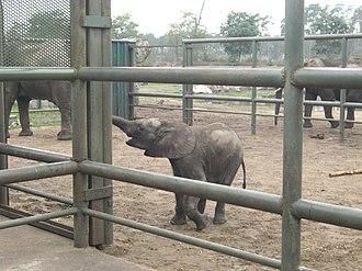 Serengeti Park - Elephant calf Bou Bou