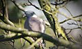 Brüssel (Belgien) Taube in einem Baum in Brüssel -- 2016 -- Tiere jpg.jpg