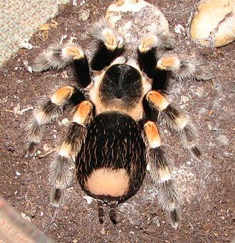 Projectile use by non-human organisms - Adult female Brachypelma smithi, showing a bald patch after kicking hairs off her abdomen.