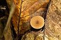 Bracket Fungi on a leaf.jpg