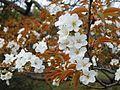 Branches of Cerasus jamasakura at Mount Obukuma Saga.JPG