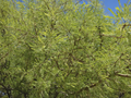 Branches of the Honey Mesquite in the Mesquite Bosque.png
