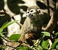 Brazilian Squirrel monkey- Bonnet House (4233828740).jpg