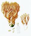 Bresadola-Clavaria formosa Pers.png