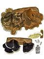Bresadola - Polystictus versicolor.png
