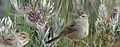 Brewers Sparrow From The Crossley ID Guide Eastern Birds.jpg