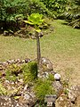 Brighamia insignis - general view.JPG