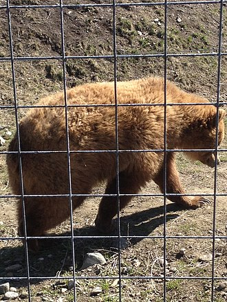 British Columbia Wildlife Park - Grizzly bear at British Columbia Wildlife Park